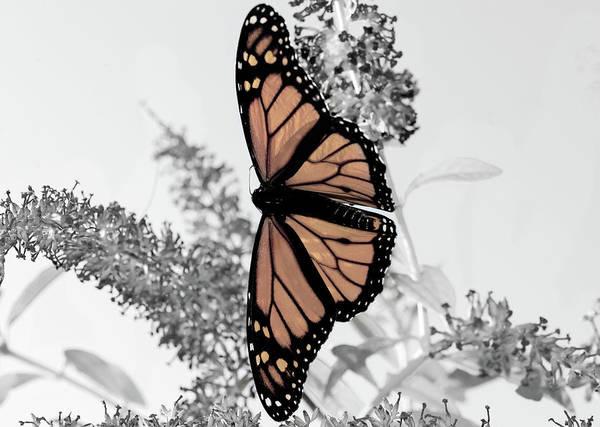 Photograph -  Monarch Mug by Lara Ellis