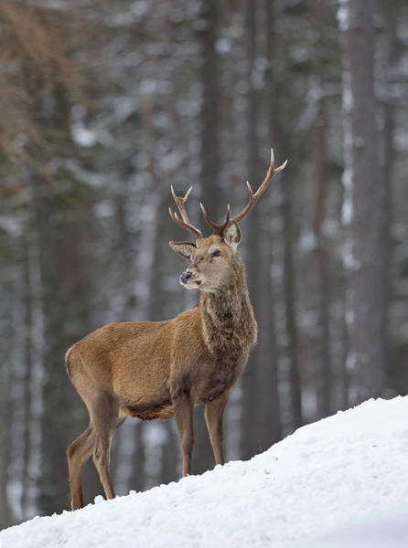 Photograph - Monarch Of The Woods by Peter Walkden