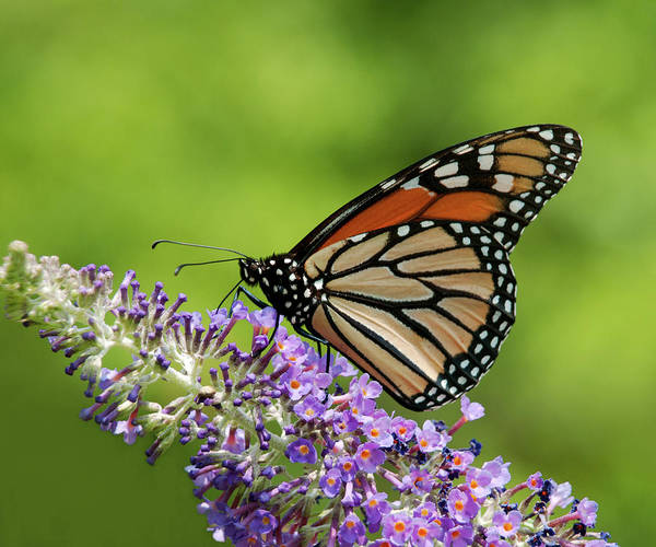 Photograph - Monarch On Butterfly Bush by Lara Ellis