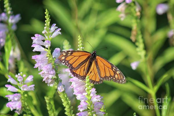 Photograph - Monarch On Dragon Flower by Karen Adams