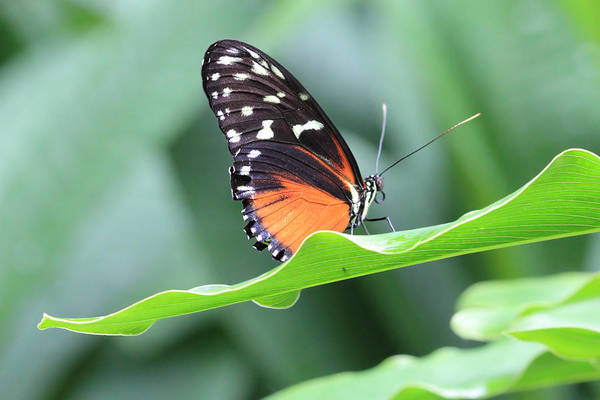 Photograph - Monarch On Green Leaf by Angela Murdock