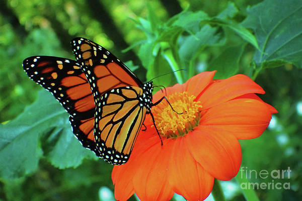 Photograph - Monarch On Mexican Sunflower by Nicole Angell
