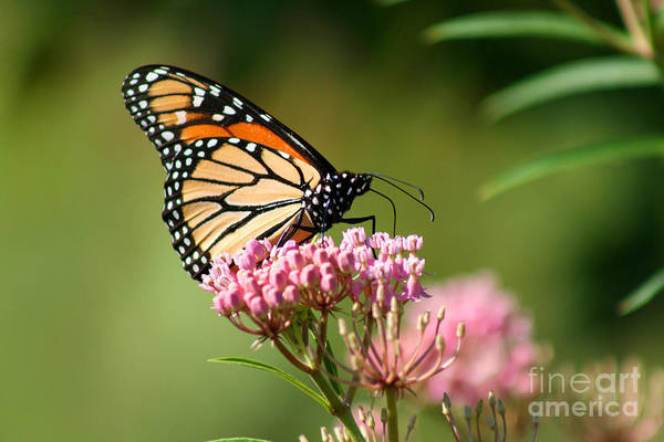 Photograph - Monarch On Milkweed 2012 by Karen Adams