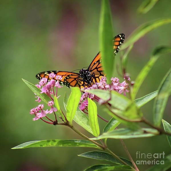 Photograph - Monarch On Milkweed Square by Karen Adams