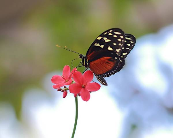 Photograph - Monarch On Pink Flowers by Angela Murdock