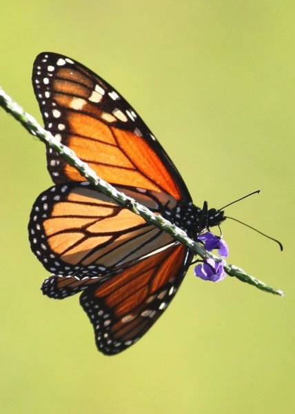 Photograph - Monarch On Porterweed by Carol Groenen