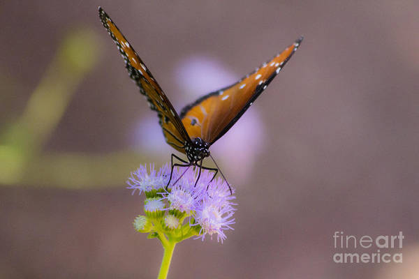 Flutterby Wall Art - Photograph - Royalty On Purple by Amy Sorvillo