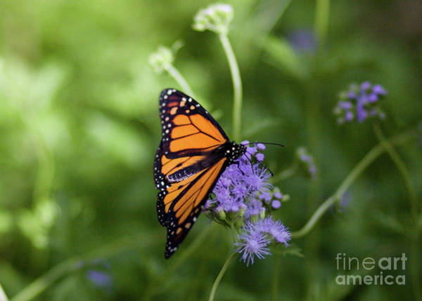Photograph - Monarch On Purple Flower by Julia Rigler