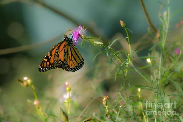 Southern Ontario Photograph - Monarch On Purple by Janal Koenig
