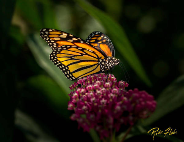 Photograph - Monarch On Purple by Rikk Flohr