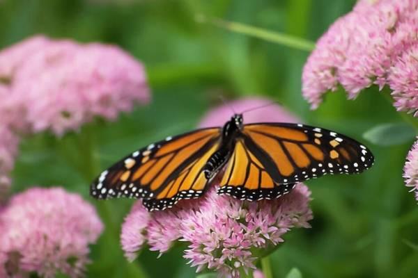 Photograph - Monarch On Sedum by Terri Hart-Ellis