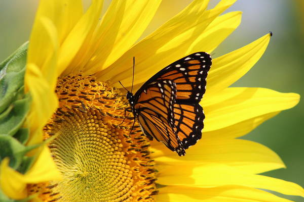 Wall Art - Photograph - Monarch On Sunflower by Dominic Labbe