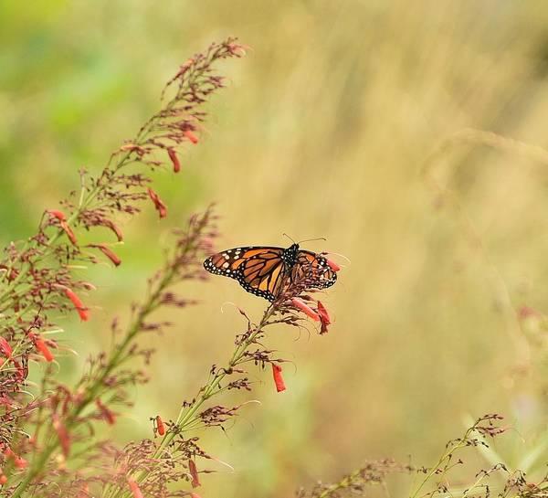 Red Bluff Photograph - Monarch On Zauschneria  Bert's Bluff by Linda Brody