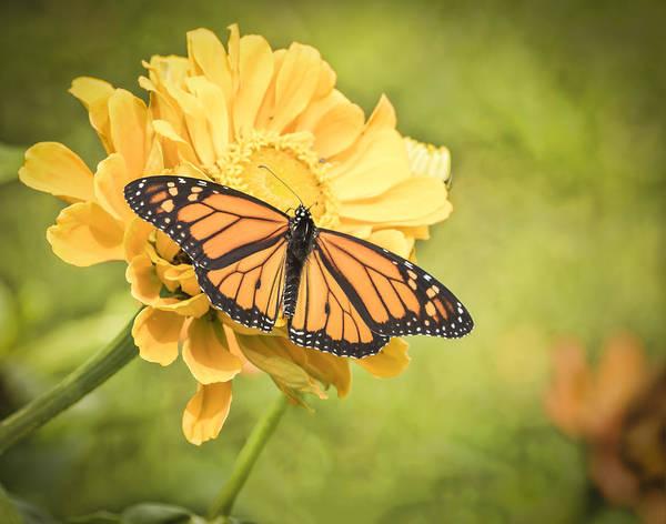 Monarch On Zinnia 5-2015 Art Print