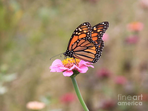 Photograph - Monarch On Zinnia by Robin Maria Pedrero