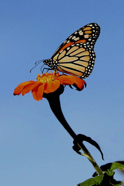 Monarch On Zinnia  Art Print
