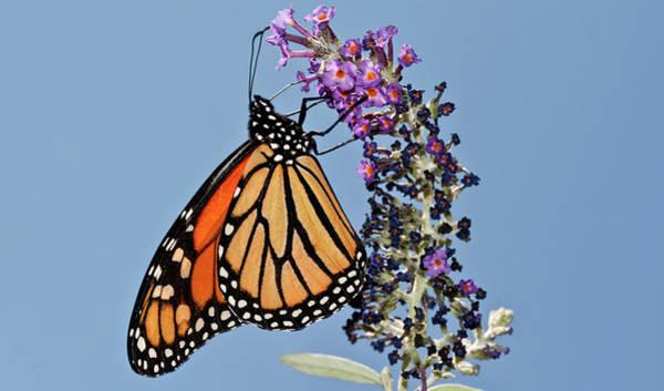 Photograph - Monarch Orange And Blue Mug by Lara Ellis