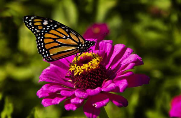 Monarch Butterflies Photograph - Monarch by Phil Koch