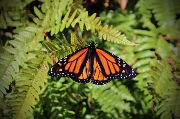 Photograph - Monarch Resting by Cynthia Guinn