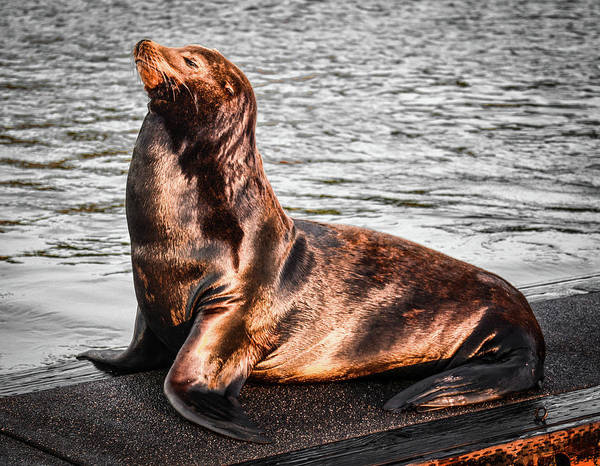 Photograph - Monarch Sealion by Jason Brooks