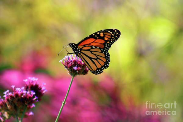 Photograph - Monarch Song by Karen Adams