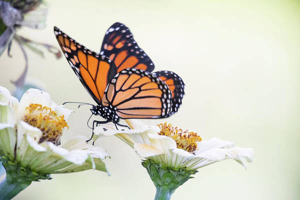 Photograph - Monarch Walking by Brian Hale