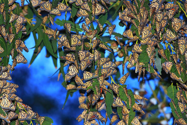 Wall Art - Photograph - Monarchs by Beth Sargent