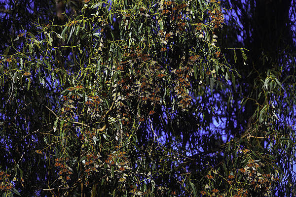 Eucalyptus Photograph - Monarchs On Eucalyptus Trees  by Garry Gay