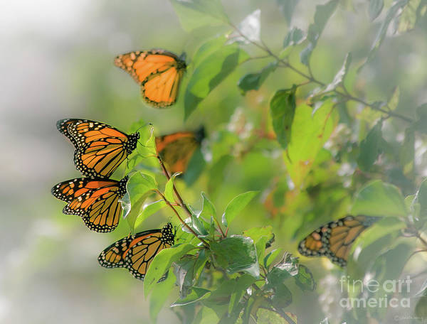 Southern Ontario Photograph - Monarchs On Leaves by Janal Koenig