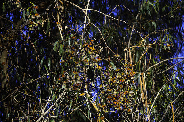 Hundred Photograph - Monarchs Wintering by Garry Gay