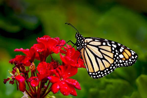 Monarh Butterfly Art Print