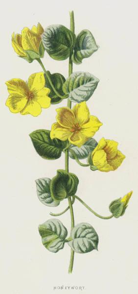 Perennial Painting - Moneywort  by Frederick Edward Hulme