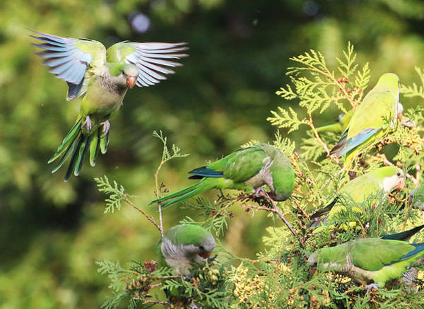 Photograph - Monk Parakeets Feeding On Evergreens 1 by William Selander