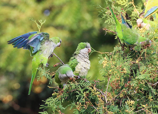 Photograph - Monk Parakeets Feeding On Evergreens 2 by William Selander