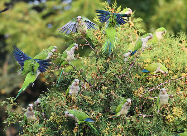 Photograph - Monk Parakeets Feeding On Evergreens 3 by William Selander