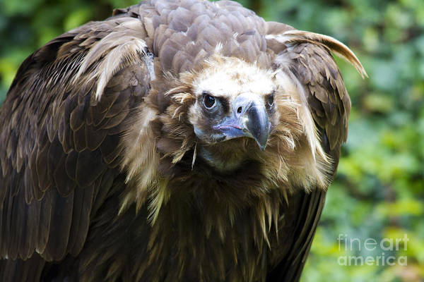 Monk Vulture 3 Art Print