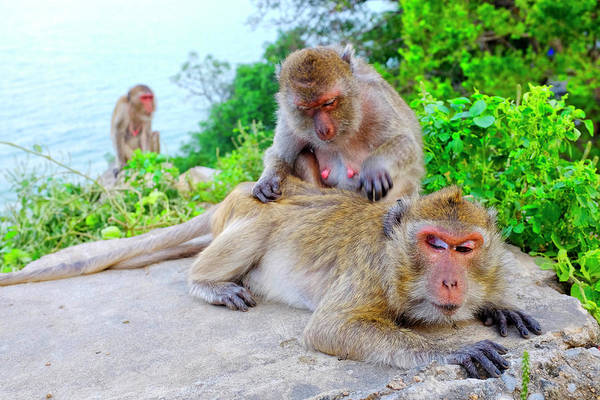 Photograph - Monkey Grooming  by Fabrizio Troiani