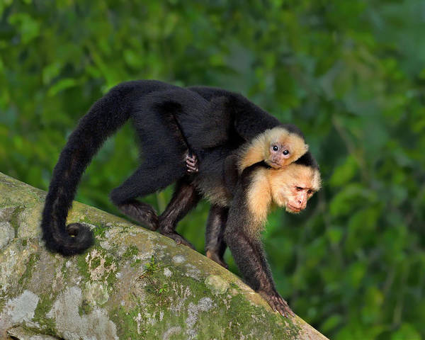 Photograph - Monkey On My Back by Tony Beck