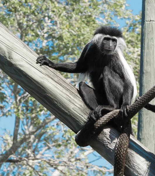 Photograph - Colubus Monkey by Richard Goldman