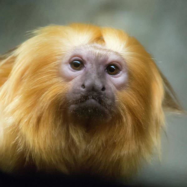 Photograph - Monkey Shines by Stewart Helberg