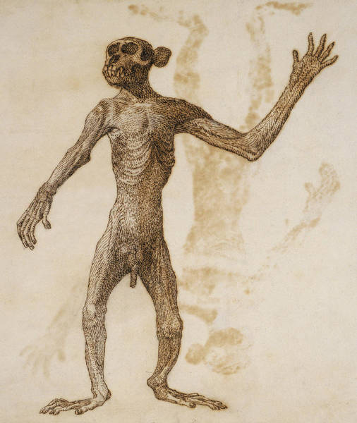 Zoo Animals Drawing - Monkey Standing, Anterior View by George Stubbs