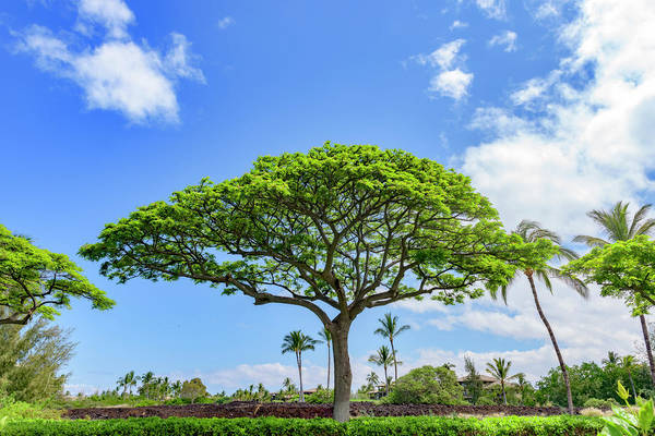 Photograph - Monkeypod Tree 1 by Jim Thompson
