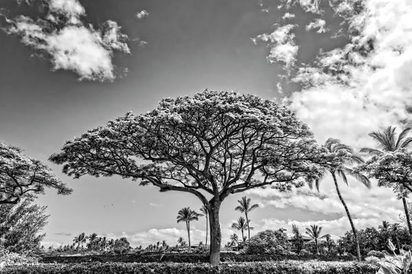 Photograph - Monkeypod Tree 2 by Jim Thompson