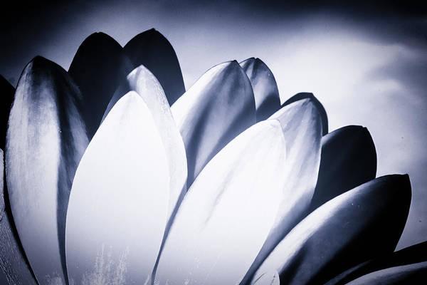 Photograph - Monochrome Chrysanthemum Petals by John Williams