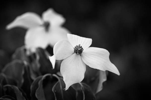 Photograph - Monochrome Dogwood Cornus Kousa Chinensis by Clare Bambers