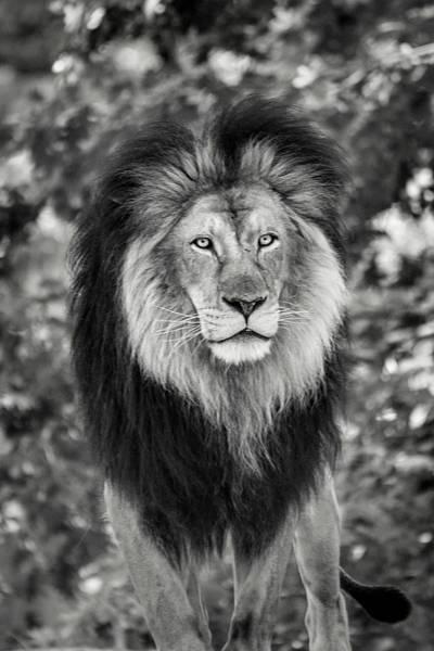 Photograph - Monochrome Lion Look by Don Johnson