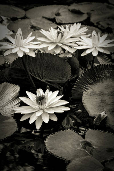 Photograph - Monochrome Lotus Blossoms 4714 Bw_2 by Steven Ward