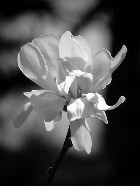 Monochrome Magnolia Art Print