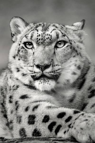 Photograph - Monochrome Snow Leopard Stare by Don Johnson