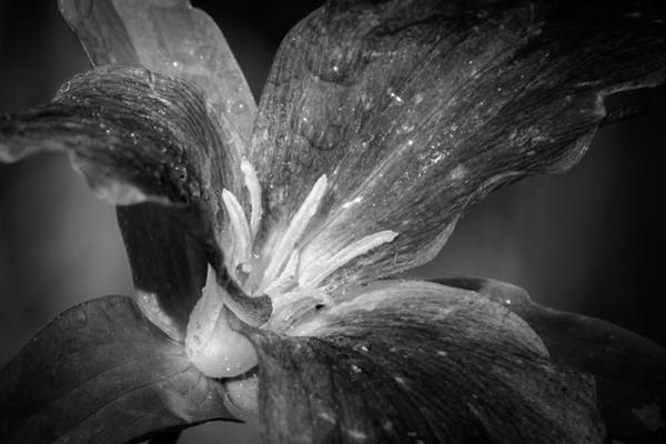 Photograph - Monoflower by David Heilman